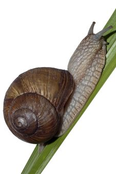 Free Snail On The Leaf Royalty Free Stock Photo - 8001095
