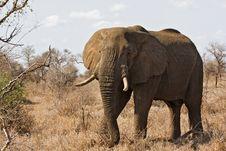 Free African Elephant Royalty Free Stock Image - 8001806