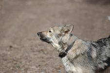 Free Barking Grey Dog Stock Photography - 8002172