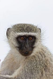 Free Vervet Monkey Royalty Free Stock Image - 8002456