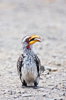 Free Hornbill Royalty Free Stock Photos - 8002718