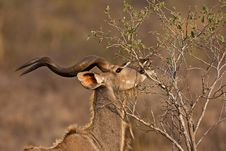 Free Greater Kudu Stock Photography - 8002862