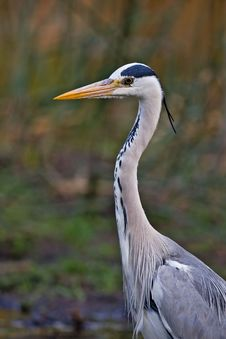 Free Grey Heron Stock Photo - 8003360