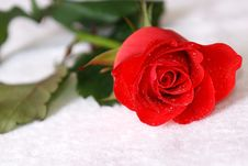 Free Scarlet Rose With Dew Stock Photos - 8003703