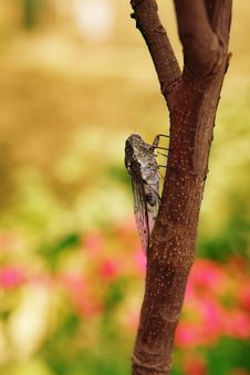 Free Cicada Royalty Free Stock Photography - 8004557