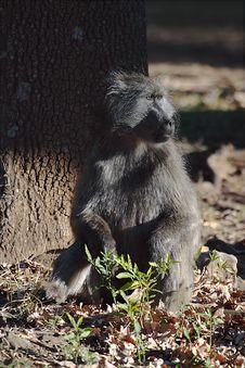 Free Baboon Stock Photos - 8004983