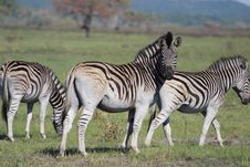 Free Zebras Stock Photography - 8005012