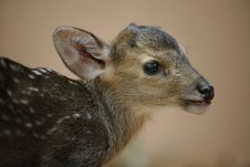 Free Hog Deer Stock Photos - 8005433