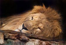 Free Lion Royalty Free Stock Image - 8005486
