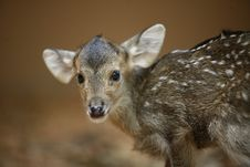 Free Hog Deer Stock Photos - 8005503