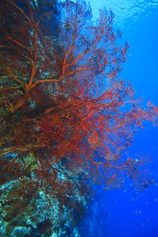Free Gorgonian Sea Fan Royalty Free Stock Photography - 8005587