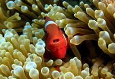 Free Spinecheek Anemonefish Stock Images - 8005604