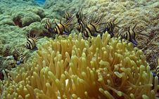Free Banggai Cardinalfish Stock Images - 8005614