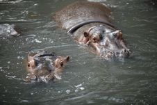 Free Hippopotamus Royalty Free Stock Photos - 8005668