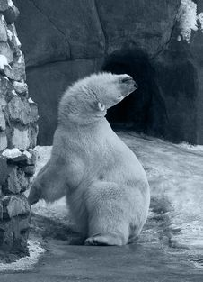 Free Funny White Polar Bear Stock Photo - 8005770