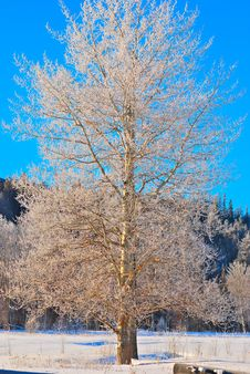 Free Wintertree Royalty Free Stock Photos - 8005958