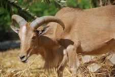 Moroccan Mountain Goat Stock Photos