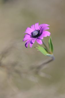 Free Anemone Royalty Free Stock Photography - 8006917