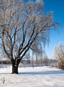 Free Tree  In The Winter Forest Stock Photo - 8007130