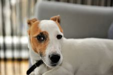 Free Jack Russel Terrier Stock Image - 8008161