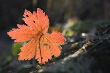 Free Red Leaf Royalty Free Stock Photos - 8008218