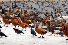 Free Ducks Royalty Free Stock Image - 8008566