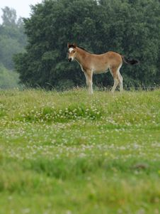 Free Young Horse Stock Photography - 8008632