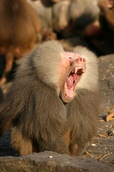 Male Baboon Yawning Stock Images