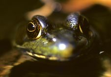 Free Frog Close Up Stock Image - 8009091