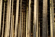 Free Trunks Of Spruces Stock Photography - 8009132