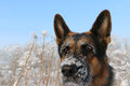 Free Dog German Shepherd In A Winter Royalty Free Stock Photos - 80060868