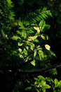Free Green Leaves With Sunlight Royalty Free Stock Image - 8012956