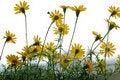 Free Daisy Flower Royalty Free Stock Photo - 8019515