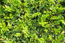 Free Green Leaves Royalty Free Stock Images - 8011219