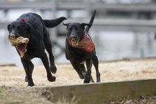 Free Black Labradors Royalty Free Stock Image - 8011366