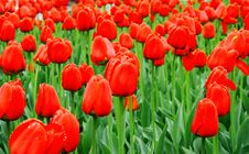 Free Sea Of Red Tulips With Water Drops Stock Images - 8011534