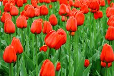 Free Sea Of Red Tulips With Water Drops Royalty Free Stock Image - 8011536