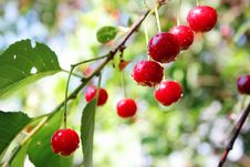 Free Cherries With Water Drops Royalty Free Stock Photo - 8011575