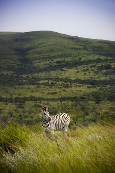 Free Wild Zebra In Africa Royalty Free Stock Photo - 8011595