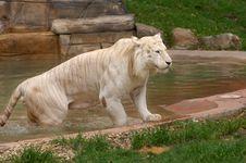 Free Asian Tiger Stock Photo - 8011990