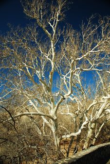 Sycamore Tree In Sunlight Royalty Free Stock Photo