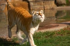 Free Asian Tiger Royalty Free Stock Images - 8012129