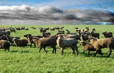 Free Sheep In Grass Field Stock Photos - 8012803