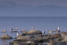 Free Sea Gulls Stock Image - 8013121