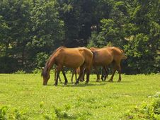Free Horses Grazing On A Meadow Royalty Free Stock Photography - 8014167