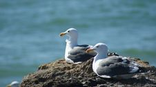 Free Pair Of Seagulls Royalty Free Stock Photos - 8014708