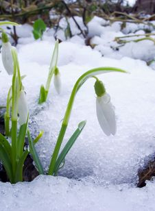 Free Snowdrops Royalty Free Stock Photo - 8014725