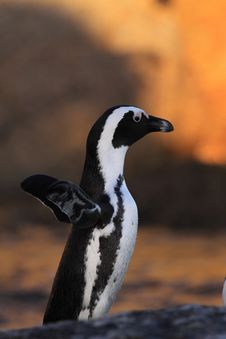 Free African Penguin Stock Photo - 8015510