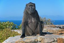 Free Baboon Royalty Free Stock Images - 8015549