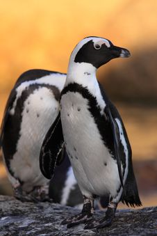 Free African Penguin Royalty Free Stock Photography - 8015587